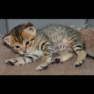 savannah kittens colwyn1a