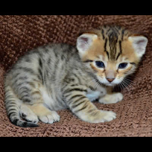 savannah kittens colwyn1b
