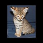 savannah kittens for sale y2b