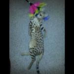savannah kittens for sale y2c
