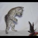 savannah kittens for sale y2d