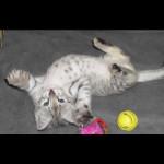savannah kittens for sale y2e