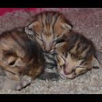 savannah kittens for sale y2h