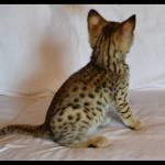 savannah kittens for sale y2i