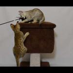 savannah kittens for sale y2k