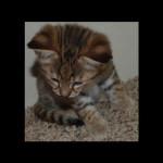 savannah-kittens-for-sale-y2kl