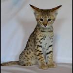 savannah kittens for sale y2l