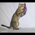 savannah kittens for sale y2m