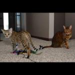 savannah kittens for sale y2o