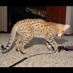 savannah kittens for sale y2p