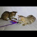 savannah kittens for sale y2q