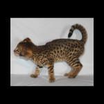 savannah kittens for sale y2r