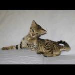 savannah kittens for sale y2s
