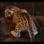 savannah kittens for sale y2t