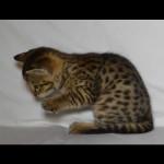 savannah kittens for sale y2u