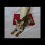 savannah kittens for sale y2v
