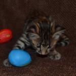 savannah kittens for sale y2w