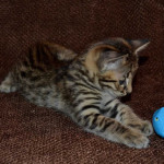 savannah kittens for sale y2x