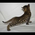 savannah kittens for sale y2y