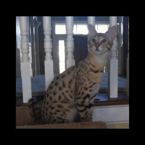 savannah kittens jovi1a