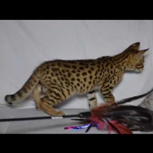 savannah kittens jovi1c