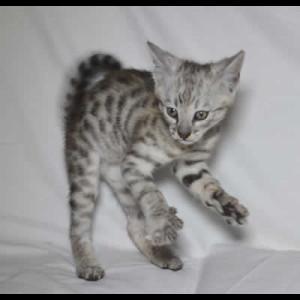 savannah kittens jovi1d