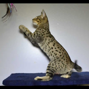savannah kittens king1d