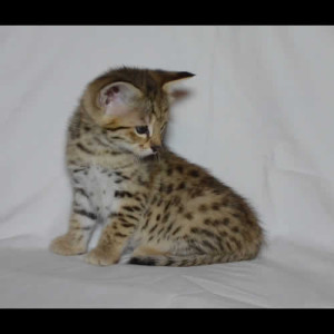savannah kittens teddy1a