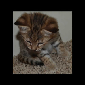 savannah kittens teddy1b