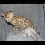savannah kittens y1b