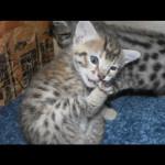 savannah kittens y1c