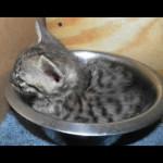 savannah kittens y1d