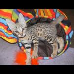 savannah kittens y1e