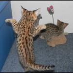 savannah kittens y1f