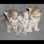 savannah kittens y1g