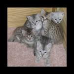 savannah kittens y1h