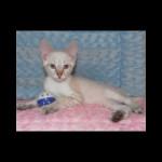savannah kittens y1j