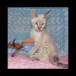savannah kittens y1k