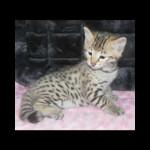 savannah kittens y1l