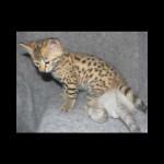 savannah kittens y1n