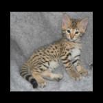 savannah kittens y1o