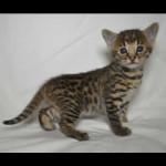 savannah kittens y1p