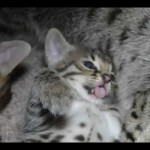 savannah kittens y1q