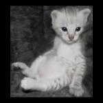 savannah kittens y1r