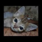 savannah kittens y1t