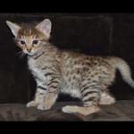 savannah kittens y1u
