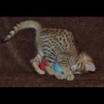 savannah kittens y1v