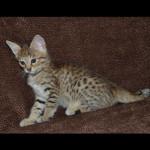 savannah kittens y1