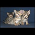 savannah kittens y1x