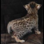 savannah kittens y1z